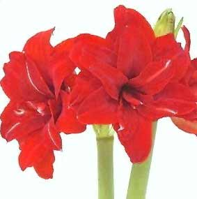 Amaryllis tips gardening pictures care meaning for Amaryllis rouge signification
