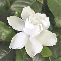 Image of Gardenia Flower