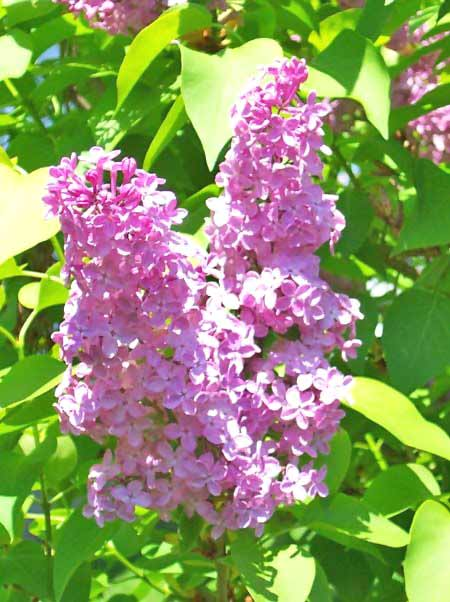 Lilac Flowers - Tips and Gardening - Exotic Flowers
