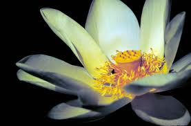Lotus Flower Growing Plant Care And Facts About Lotus