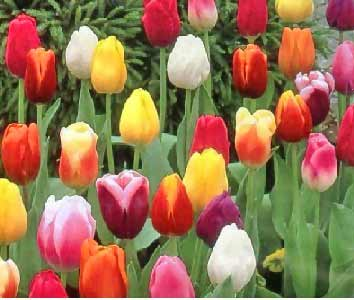 tulips tips gardening pictures care meaning growing tulips