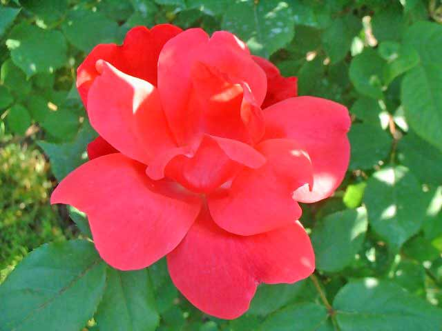 Rose flower meanings by their color variety and numbers musk rose mightylinksfo