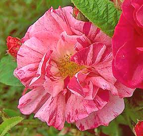 Rose Flower Meanings-35
