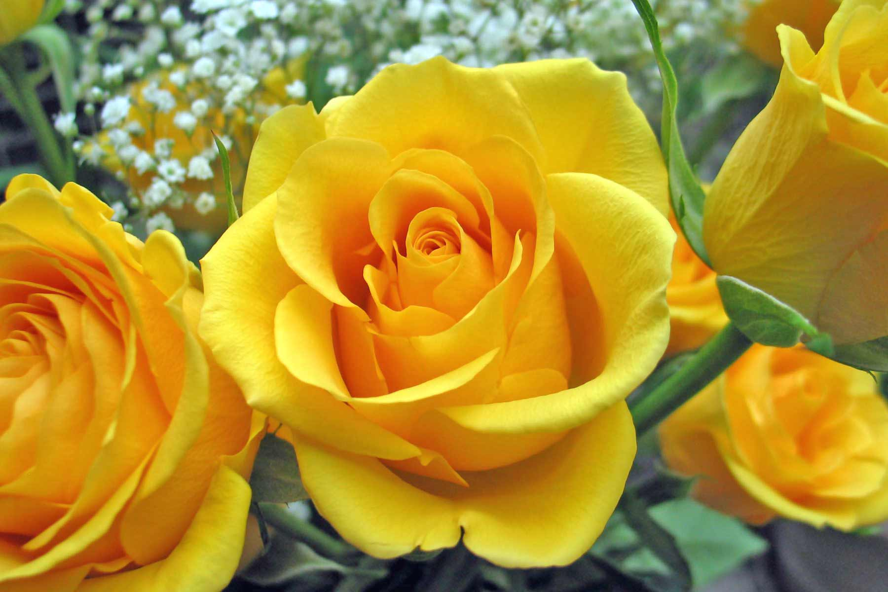 http://www.theflowerexpert.com/media/images/aboutflowers/flowermeanings/roseflowermeanings/single-yellow-rose.jpg