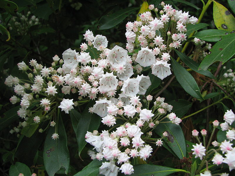 mountain_laurel5