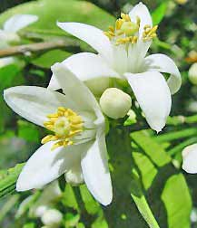 white orange blossom