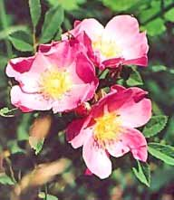 image of Iowa State Flower - Pink Wild Prairie Rose