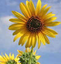 image-kansas-state-flower-sunflower