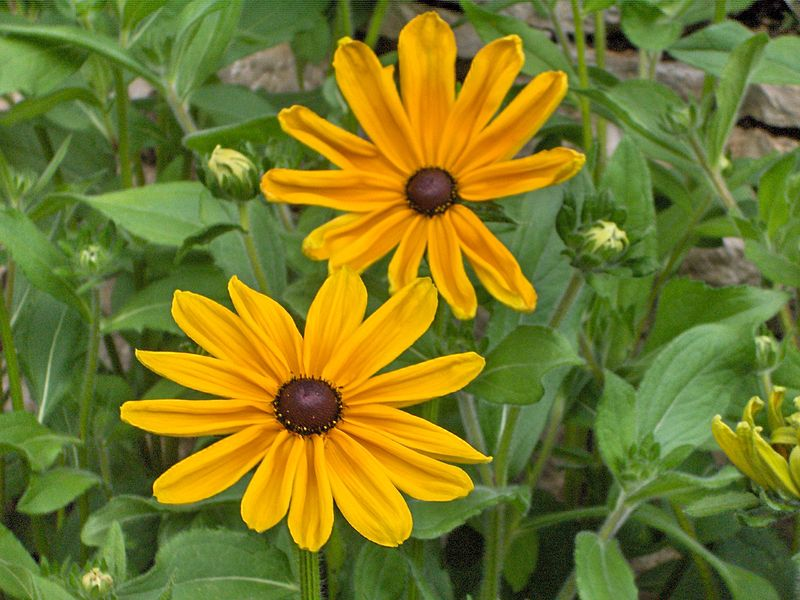 maryland state flower facts about black eyed susan