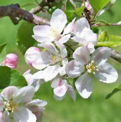 Michigan State Flower Image: White Apple Blossom