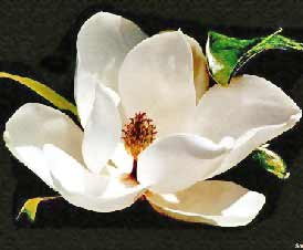 Mississippi State Flower Facts About Magnolia