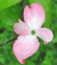 Image of Pink Dogwood Blossom