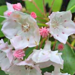 pink mountain laurels