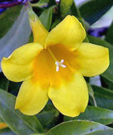 South Carolina State Flower Facts About Yellow Jessamine