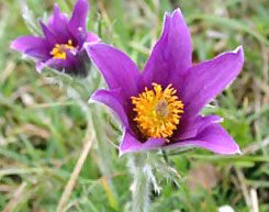 image of south dakota state flower pasque flower