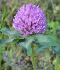 Image of Vermont State Flower: Red Clover