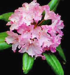Image of Washington State Flower: Coast Rhodendron