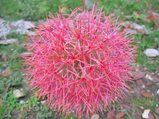 Tropical Flowers - Blood Lily
