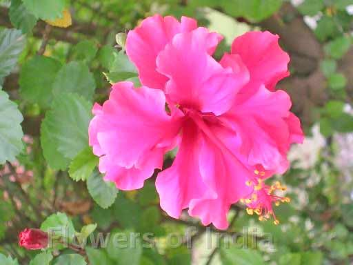 Hibiscus (China Rose)