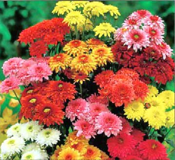 Chrysanthemum - Tips, Gardening, Pictures, Care, Meaning, Growing ...