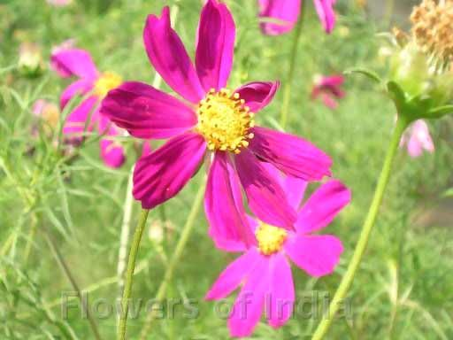 Learn More About Cosmos Pink Flowers