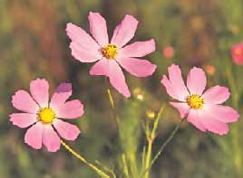 Cosmos The Flower Expert Flowers Encyclopedia