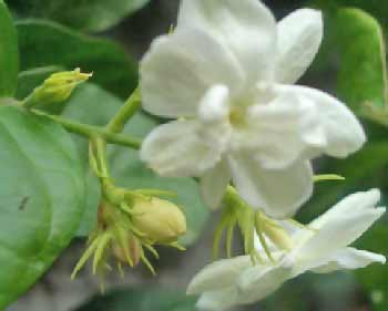 Image of Sampaguita Flowers