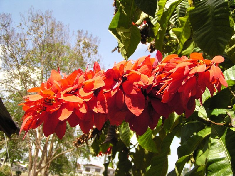 Facts About Chaconia Flower
