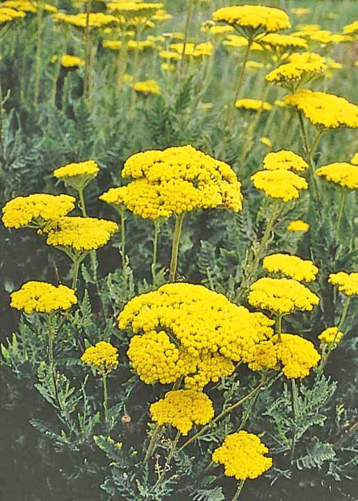 Gold YarrowYellow Yarrow Flower