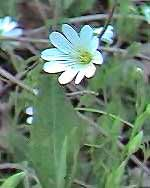 Great switchwort