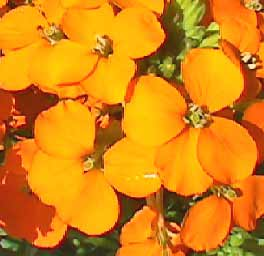 Image of Orange Wall Flower