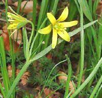 Yellow Star of Bethlehem