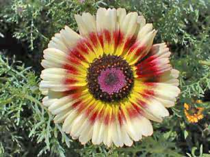 Chtysanthemum Photos 8