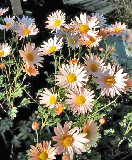 Chtysanthemum Photos 5