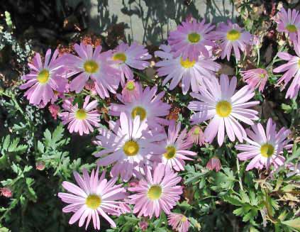 Chtysanthemum Photos 2