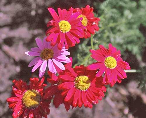 Chtysanthemum Photos 7