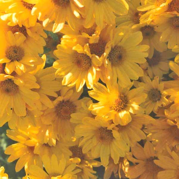 Chrysanthemum photos the flower expert flowers encyclopedia florist mums yellow mightylinksfo
