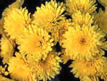 Chtysanthemum Photos 16