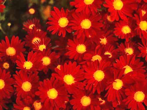 Chtysanthemum Photos 12