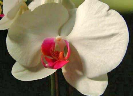Flower Photos - Orchids