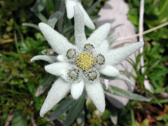 image-of-edelweiss