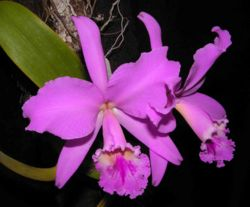 Image of Cattleya Orchid