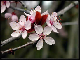 Image of Plum Blossom