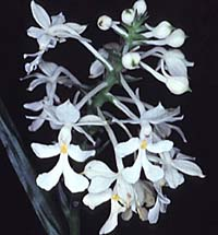Image of Christmas Orchid