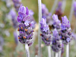 Image of the National Flower of Portugal - Lavender