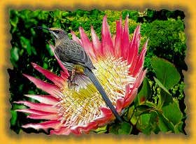 Image of National Flower South Africa