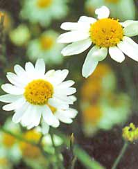 Image of Chamomile