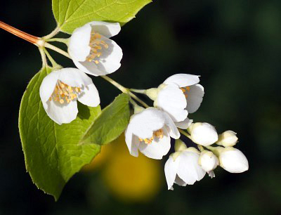 The Jasmine flowers are white in most species, with some species being yellow. The Jasmine is believed to have originated in the Himalayas in western China.