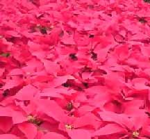 Image of Christmas Flowers: Poinsettias