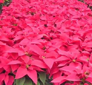poinsettias euphorbia pulcherrima are popular potted plants particularly during the christmas season brightly colored and mostly red a poinsettia - Red Christmas Flowers